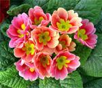 Первоцвет весенний, или примула